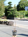 サクラウツギ 12cmポット 8本セット 送料無料【1年間枯れ保証】【春に花が咲く木】