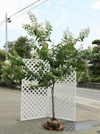サルスベリ白花単木 2.0m露地 1本【1年間枯れ保証】【シンボルツリー落葉】