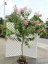 【1年間枯れ保証】【シンボルツリー落葉】サルスベリ紫花単木 2.3m露地 1本