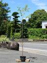 サクラ/エドヒガン 1.5m18cmポット 4本セット【1年間枯れ保証】【街路樹&公園樹】