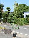 ツバキ/ヤブツバキ 1.2m15cmポット 5本セット 2セット 送料無料【1年間枯れ保証】【生垣樹木】