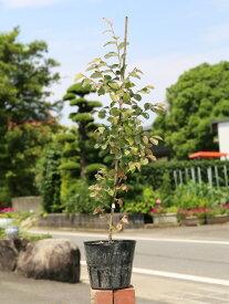 トキワマンサク青葉赤花 0.6m15cmポット 1本【1年間枯れ保証】【生垣樹木】