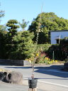 【1年間枯れ保証】【生垣樹木】トキワマンサク青葉赤花 0.8m15cmポット 10本セット 送料無料