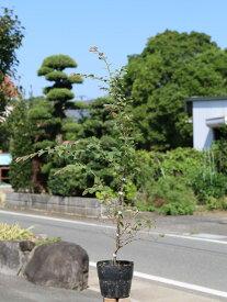 トキワマンサク青葉赤花 0.8m15cmポット 1本【1年間枯れ保証】【生垣樹木】