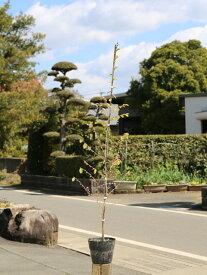 トキワマンサク青葉赤花 1.0m15cmポット 1本【1年間枯れ保証】【生垣樹木】