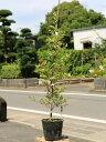 トキワマンサク青葉白花 0.6m15cmポット 1本【1年間枯れ保証】【生垣樹木】