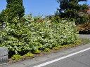 【1年間枯れ保証】【生垣樹木】トキワマンサク青葉白花 1.0m15cmポット 【あす楽対応】