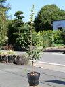 トキワマンサク青葉白花 1.0m15cmポット 1本【1年間枯れ保証】【生垣樹木】
