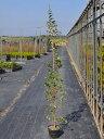 【1年間枯れ保証】【生垣樹木】トキワマンサク青葉白花 1.4m15cmポット 5本セット 送料無料 【あす楽対応】
