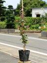 トキワマンサク赤葉ピンク花 0.2m10.5cmポット 1本【1年間枯れ保証】【生垣樹木】