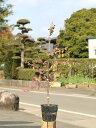 【1年間枯れ保証】【生垣樹木】トキワマンサク赤葉ピンク花 0.6m15cmポット 15本セット 送料無料