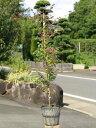 トキワマンサク赤葉ピンク花 0.8m15cmポット 10本セット 送料無料【1年間枯れ保証】【生垣樹木】