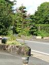 【1年間枯れ保証】【生垣樹木】トキワマンサク赤葉ピンク花 1.0m15cmポット 1本