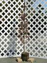 トキワマンサク赤葉ピンク花 1.5m露地 1本【1年間枯れ保証】【生垣樹木】