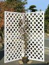 【1年間枯れ保証】【シンボルツリー常緑】トキワマンサク赤葉ピンク花 1.7m露地 1本