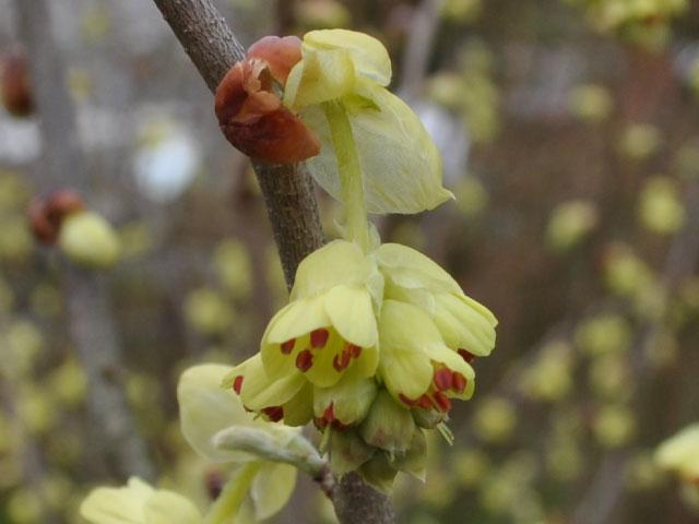 【1年間枯れ保証】【春に花が咲く木】トサミズキ 0.6m15cmポット 【あす楽対応】