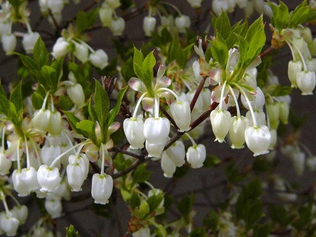 【1年間枯れ保証】【春に花が咲く木】ドウダンツツジ 0.2m 【あす楽対応】
