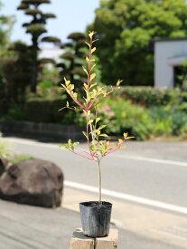 ドウダンツツジ 0.1m10.5cmポット 1本【1年間枯れ保証】【春に花が咲く木】