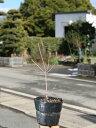 ドウダンツツジ 0.4m15cmポット 1本【1年間枯れ保証】【春に花が咲く木】