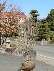ドウダンツツジ 1.2m露地 1本【1年間枯れ保証】【春に花が咲く木】