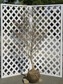 ドウダンツツジ 1.5m露地 2本セット 送料無料【1年間枯れ保証】【春に花が咲く木】