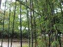 【1年間枯れ保証】【竹類】タケ/クロチク 1.5m露地 2本セット 送料無料 【あす楽対応】