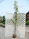 【1年間枯れ保証】【竹類】タケ/クロチク 1.5m露地 1本