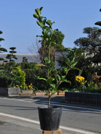 チャノキ 0.3m15cmポット 10本セット 送料無料【1年間枯れ保証】【低木】