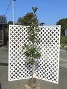 【1年間枯れ保証】【シンボルツリー常緑】タブノキ単木 2.0m露地 1本