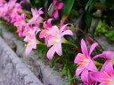 【1年間枯れ保証】【球根】ゼフィランサス/カリタナ(ピンク花) 9.0cmポット 【あす楽対応】
