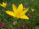 【1年間枯れ保証】【球根】ゼフィランサス/黄色 10.5cmポット 【あす楽対応】
