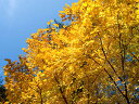 【1年間枯れ保証】【雑木】ダンコウバイ 1.0m露地 【あす楽対応】