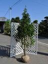 【1年間枯れ保証】【シンボルツリー常緑】ツバキ/オトメツバキ 1.5m露地 【あす楽対応】