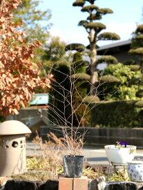 ナガハノコウヤボウキ 0.5m10.5cmポット 1本【1年間枯れ保証】【山野草】
