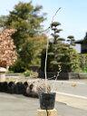 ナツハゼ 0.5m10.5cmポット 1本【1年間枯れ保証】【紅葉が美しい木】