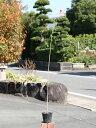 ナンキンハゼ 0.7m10.5cmポット 1本【1年間枯れ保証】【街路樹&公園樹】