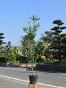 ナギ 0.5m10.5cmポット 1本【1年間枯れ保証】【縁起木】