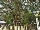 【1年間枯れ保証】【縁起木】ナギ 0.8m15cmポット 【あす楽対応】