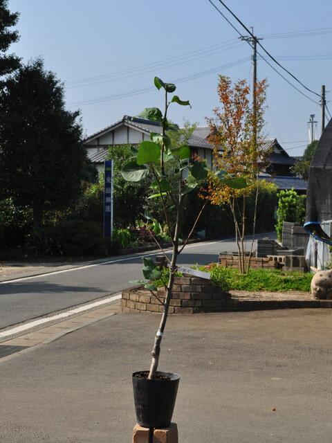 【1年間枯れ保証】【秋に収穫する果樹】ナシ/南水 15cmポット  1本