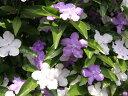 【1年間枯れ保証】【春に花が咲く木】ニオイバンマツリ 1.5m露地 【あす楽対応】
