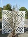 【1年間枯れ保証】【春に花が咲く木】ニオイバンマツリ 1.2m露地 【あす楽対応】