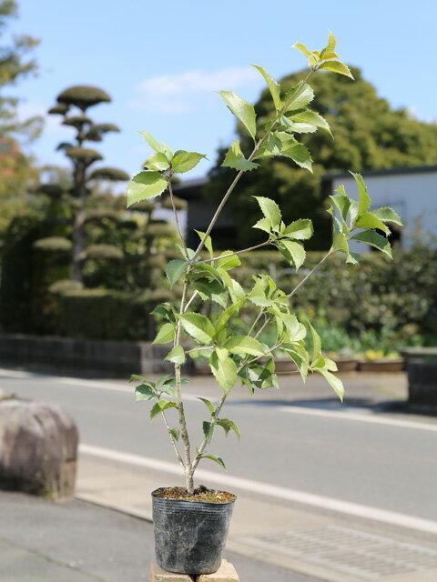 【1年間枯れ保証】【生垣樹木】ヒイラギモクセイ 0.3m10.5cmポット 1本