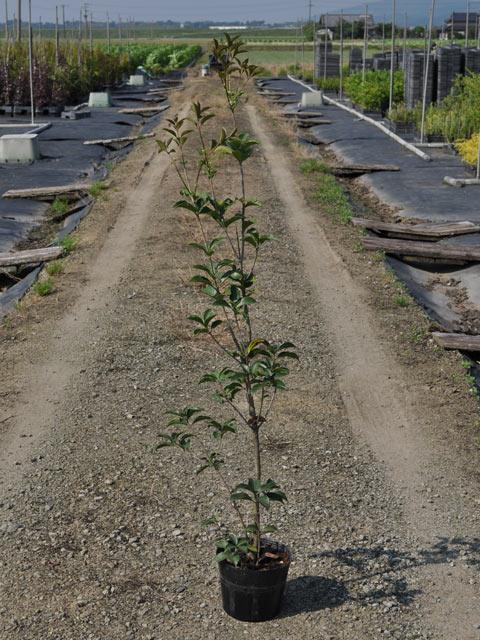 【1年間枯れ保証】【生垣樹木】ヒイラギモクセイ 0.8m15cmポット 1本
