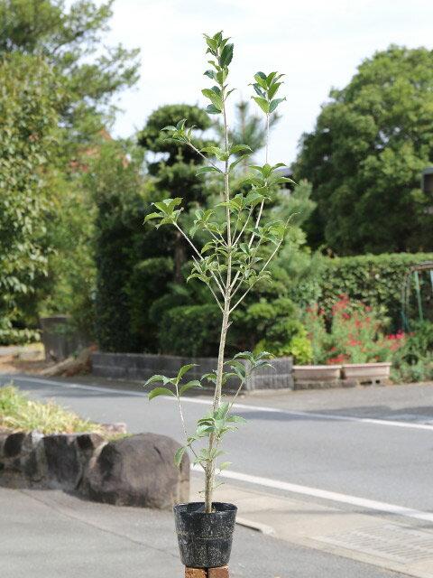 【1年間枯れ保証】【生垣樹木】ヒイラギモクセイ 1.0m15cmポット 1本