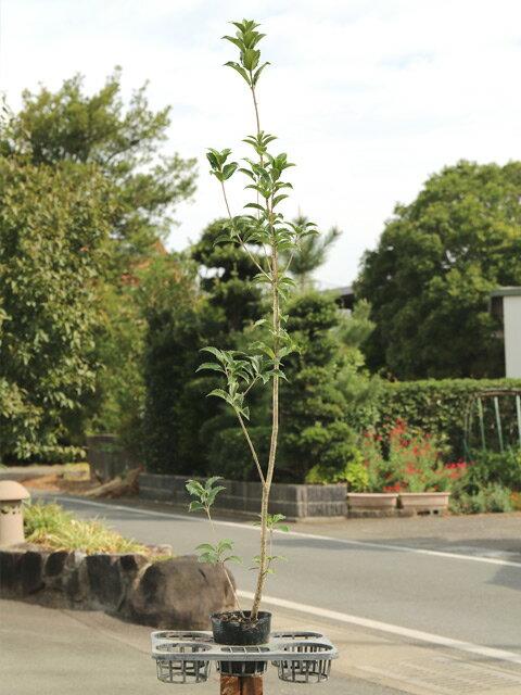 【1年間枯れ保証】【生垣樹木】ヒイラギモクセイ 1.2m15cmポット 1本