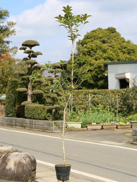 【1年間枯れ保証】【生垣樹木】ヒイラギモクセイ 1.4m15cmポット 1本