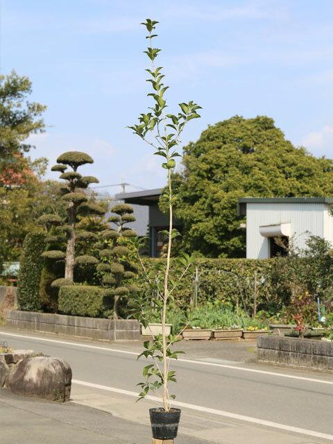 【1年間枯れ保証】【生垣樹木】ヒイラギモクセイ 1.7m15cmポット 5本セット 送料無料