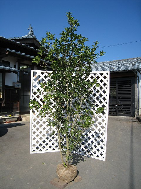 【1年間枯れ保証】【シンボルツリー常緑】ヒイラギモクセイ 2.0m露地 1本