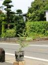 【1年間枯れ保証】【生垣樹木】ヒノキ 0.3m10.5cmポット 40本セット 送料無料