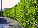 【1年間枯れ保証】【生垣樹木】ボックスウッド 0.6m15cmポット 【あす楽対応】